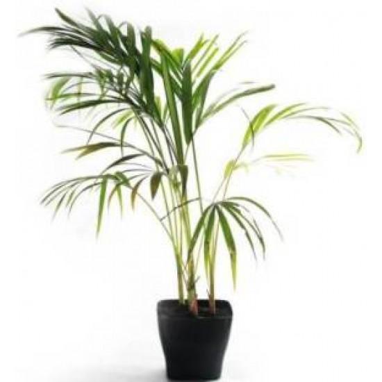 Kusha / Darbha Grass live plant -3