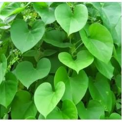 Giloy Live Plant (Tinospora Cordifolia )