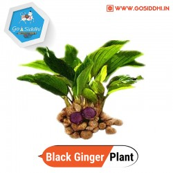 Black Ginger Plant ( Kaempferia parviflora / Thai ginseng / Krachai dum )
