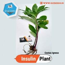 Insulin Plant Rhizomes   Costus Igneus  Rhizomes for Plantation   Used to cure Diabetes