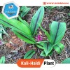 Black Turmeric Kali Haldi Plant