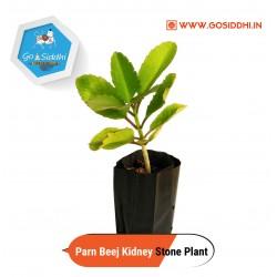 Panfuti   Parn beej   Raktakusum   Bryophyllum Pinnatum   Kidney Stone Plant   Patharchatta