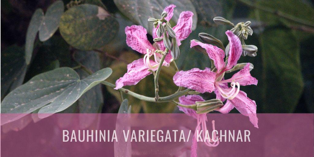 KANCHANARA - BAUHINIA PURPUREA
